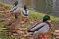 Mallards, Hampstead Ponds, London NW3 - geograph.org.uk - 1047712.jpg
