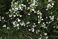 Malvenartige Pflanze in der Nähe des Guckaisees.jpg