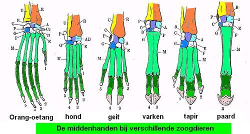 duimmuis spier