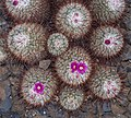 Mammillaria bombycina (70458).jpg
