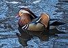 Mandarin duck in Central Park (30055).jpg