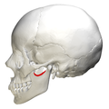 Mandibular notch - lateral view.png