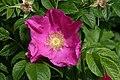 Mani ziedi My flowers - panoramio (44).jpg