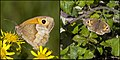 Maniola jurtina - Meadow Brown (36190827721).jpg