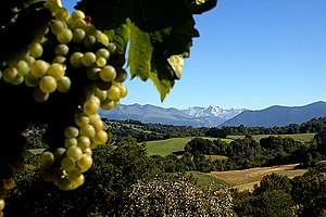 Floc de Gascogne - A bunch of gros manseng grapes with Jurançon in the back drop