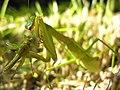 Mantis eating locust DSCN9747.jpg