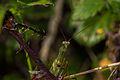 Mantis religiosa (5).jpg