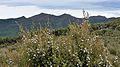 Manuka bush flowers.jpg
