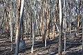Many tree trunks, Dryandra Woodland, Western Australia.jpg