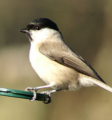 Marsh Tit Poecile palustris.jpg