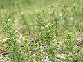Matricaria discoidea stem (07).jpg
