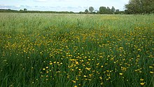 Meadow (Ranunculus).jpg