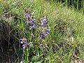 Meadow Sage - panoramio.jpg