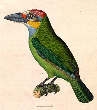 Golden-whiskered barbet - Image: Megalaima chrysopogon 1838