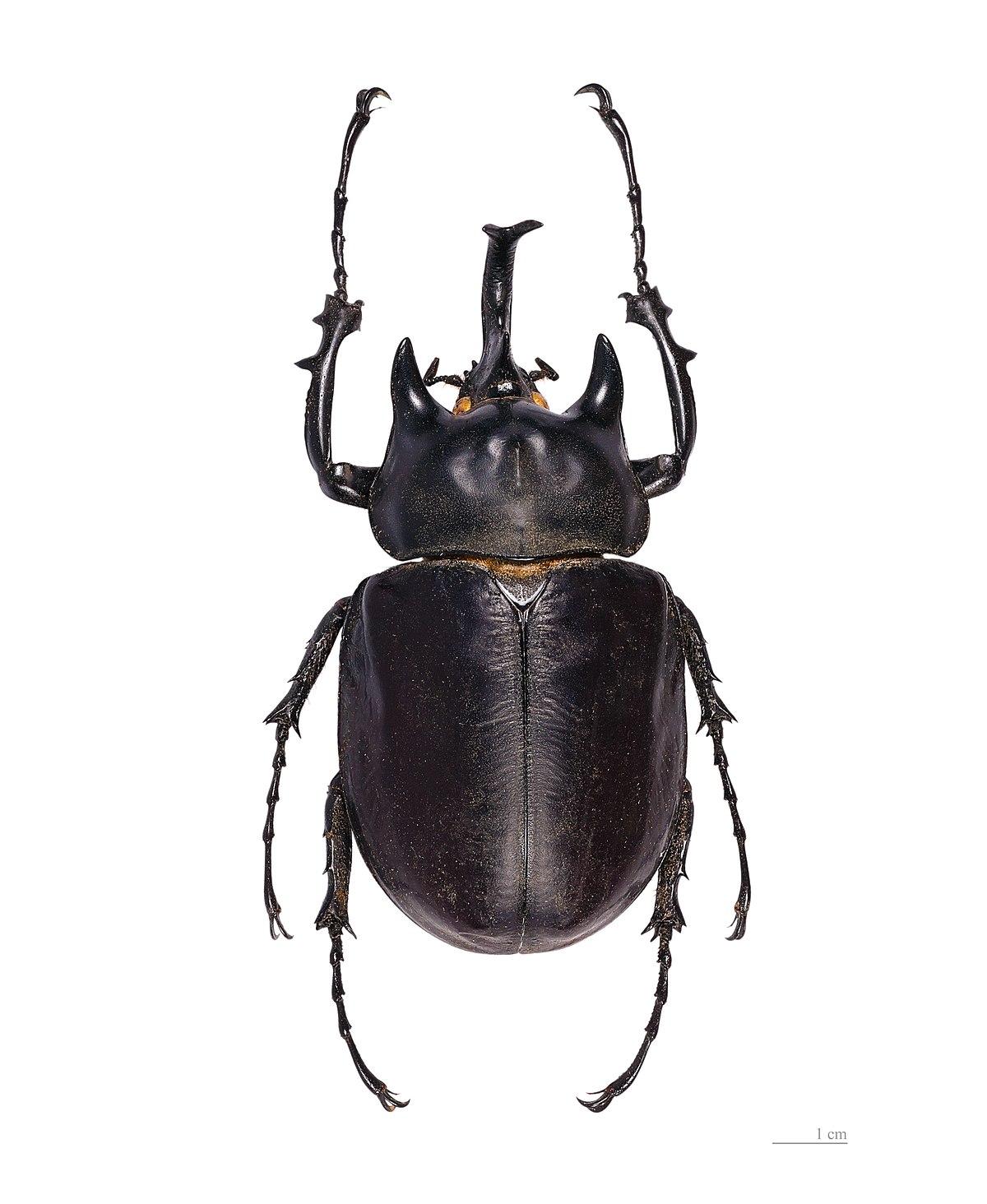 Actaeon beetle - Wikipedia
