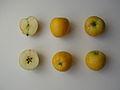 Mela renetta ananas 2.JPG