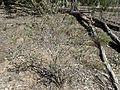 Melaleuca macronychia habit (ANBG).jpg
