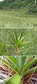 Melanophryniscus biancae habitat.png