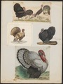 Meleagris gallopavo - 1700-1880 - Print - Iconographia Zoologica - Special Collections University of Amsterdam - UBA01 IZ16900302.tif