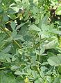 Melilotus officinalis Citroengele honingklaver blad.jpg
