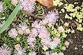 """Mesa Verde Iceplant (Delosperma) """"Kelaidis"""" - United States National Arboretum - (1) (2).jpg"""