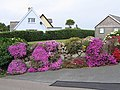 Mesembryanthemum on Church Road, St Mary's Scilly - geograph.org.uk - 1618647.jpg