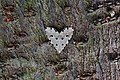 Metaemene atrigutta maculata 姬胡麻斑小夜蛾 - panoramio.jpg