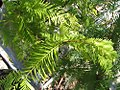 Metasequoia glyptostroboides 2zz.jpg