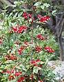 MickeymouseBush with unripe fruits - Ochna serrulata.jpg