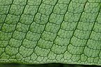 Microsorum musifolium closeup.JPG