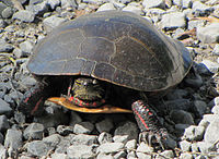 A midland painted turtle standing on rocky ground and facing the viewer.