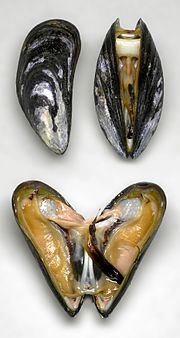 Marine blue mussel, Mytilus edulis, showing some of the inner anatomy. The white posterior adductor muscle is visible in the upper image, and has been cut in the lower image to allow the valves to open fully