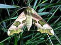 Mimas tiliae (Lime Hawk-moth), Maastricht, the Netherlands - 2.jpg