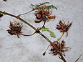 Mimosa pudica seed pods.jpg