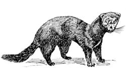 Mink (PSF).png