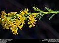 Minute bees on goldenrod (Apoidea) (31066497476).jpg