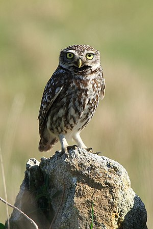 Dear enemy effect - The little owl hoots less intensively at familiar neighbours than unfamiliar