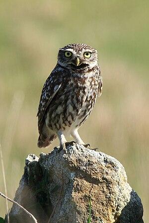 Little owl - Image: Mochuelo Común ( Athene noctua )(1)