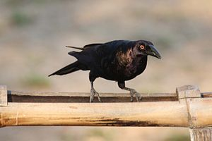 Giant cowbird - M. oryzivorus in the Pantanal