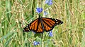 Monarch (Danaus plexippus) - Guelph, Ontario 01.jpg