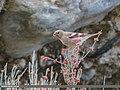 Mongolian Finch (Bucanetes mongolicus) (42715071925).jpg