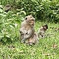 Monkeys - Sihanoukville Province.jpg