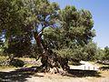 Monumental Olive tree near Kavousi (Crete) 02.jpg