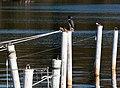 Mooring poles with owl decoy 3.jpg