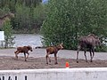 Moose and calves at Denali Park Village.jpg