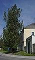 Morgenländischer Lebensbaum (Thuja orientalis) (32) IMG 1230.jpg
