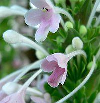 Morina longifolia 4