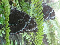 Morpho peleides at Butterfly World.jpg