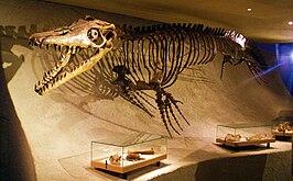 Reconstructie van het skelet van een Mosasaurus hoffmannii (NHM Maastricht)