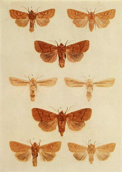 Moths of the British Isles Plate150.jpg